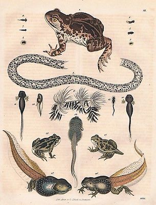 1844 - Knoblauchkröte Kröte Kaulquappe tadpole toad Lithographie lithograph