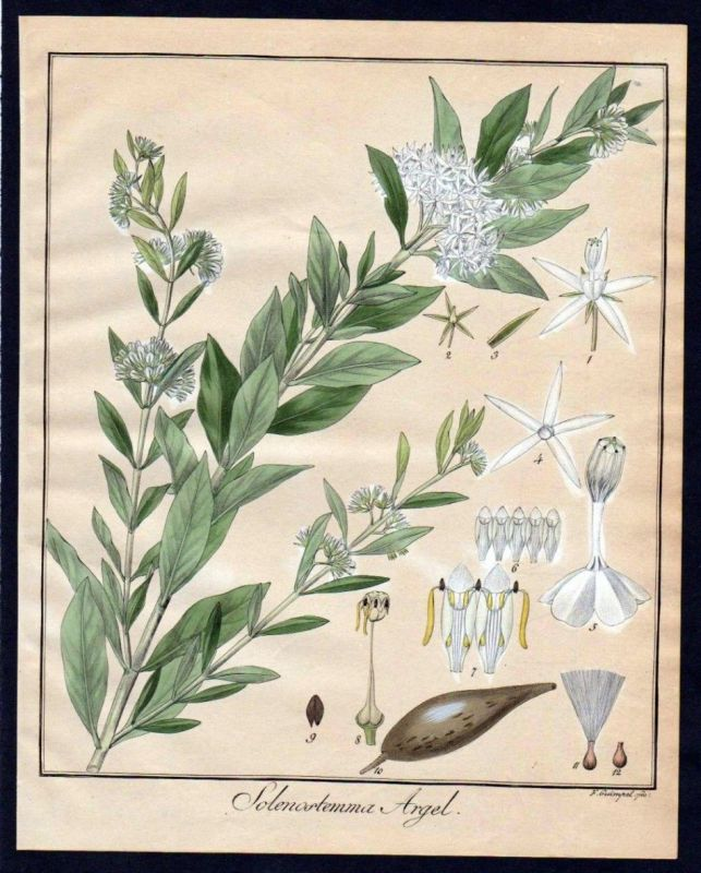 Ca. 1830 Solenstemma Argel Botanik botany Kupferstich engraving antique print
