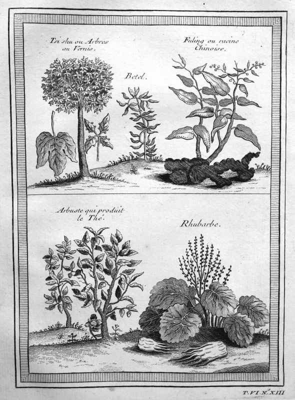 Ca. 1750 Rhabarber rhubarb Botanik botany China Kupferstich antique print