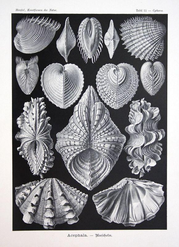 Muscheln Bivalvia molluscs Kunstformen der Natur Ernst Haeckel Tafel plate 55