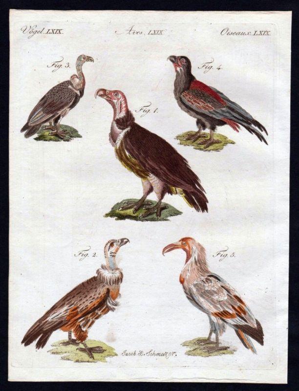 Ohrengeier lappet faced vulture Geier Vögel birds Kupferstich engraving Bertuch