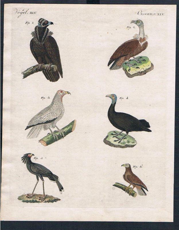1800 - Raubvögel Geyer Geier vulture Vögel birds engraving Kupferstich Bertuch