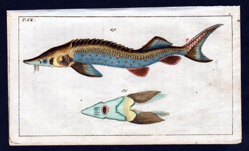 1800 Fisch Fische fish Kupferstich engraving