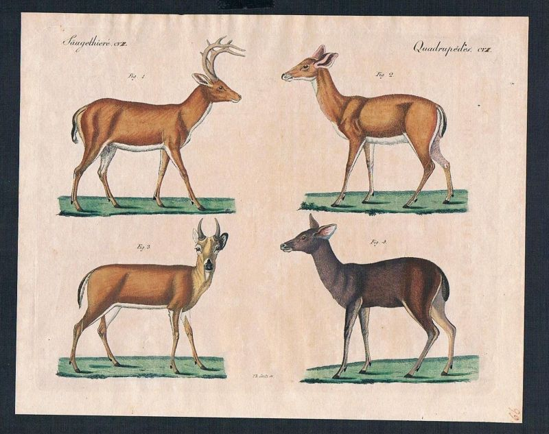 1800 Virginische Hirsch Malakkische Hirschkuh deer engraving Kupferstich Bertuch