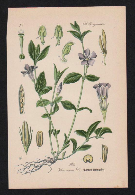 1880 - kleines Sinngrün Wintergrün Kräuter Heilkräuter herbs herbal Lithographie