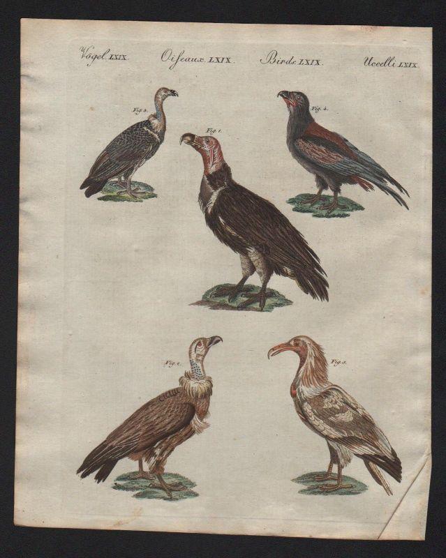 1800 - Geier vulture vultures Raubvögel raptor Bertuch Kupferstich antique print
