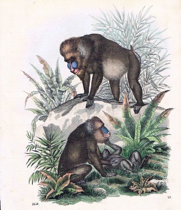 1859 - Pavian Affe Affen monkey Tiere animals animal Original Lithographie Litho