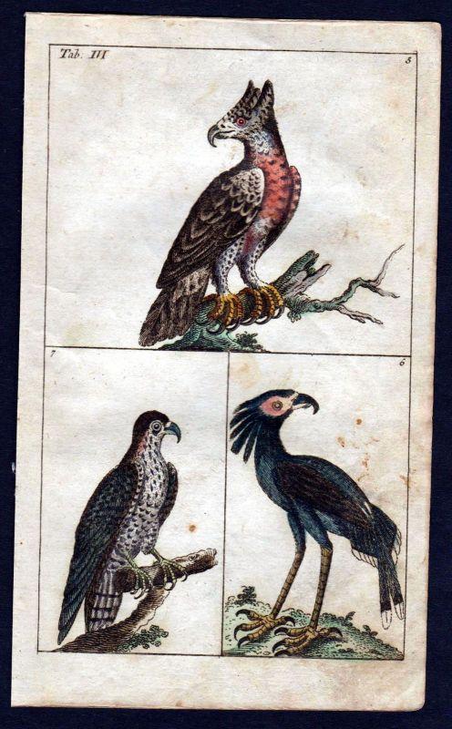 1800 Adler eagle Vogel Vögel bird birds Kupferstich engraving