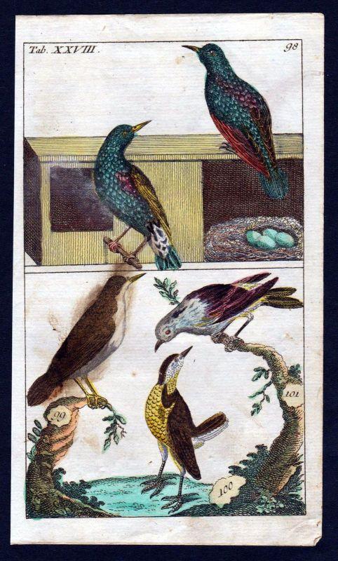 1800 Star Stare starling Singvögel Vogel bird birds Kupferstich engraving