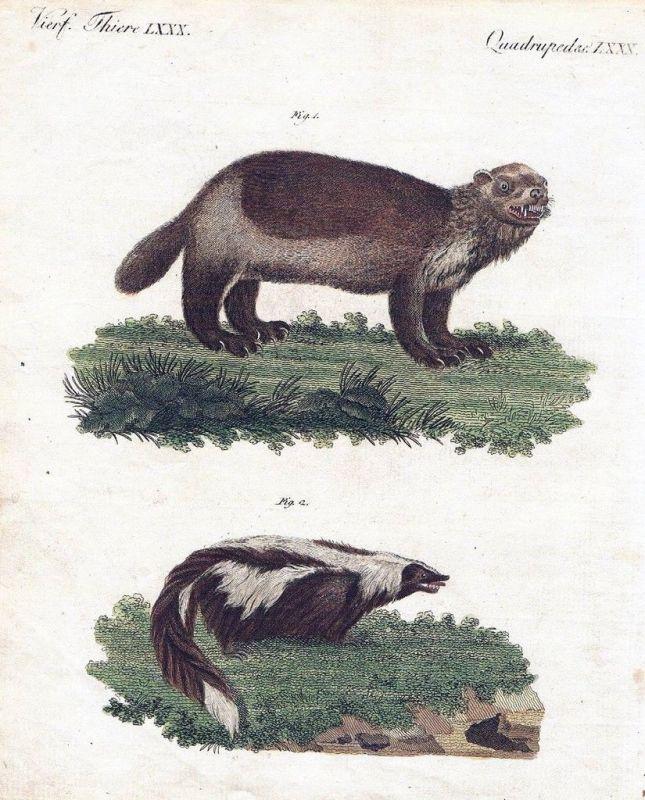 1800 - Vielfraß Wolverine Stinktier Kupferstich Bertuch