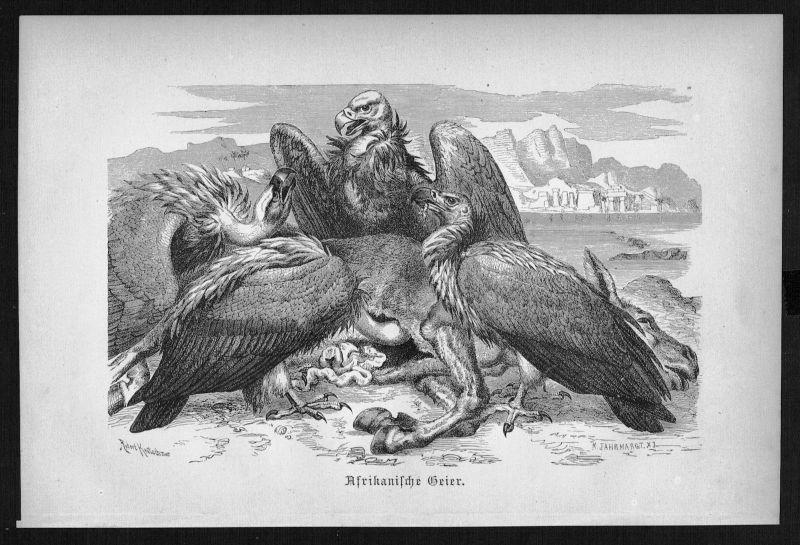 1890 - Geier vulture Afrika Africa Vogel Vögel bird birds Holzstich woodcut