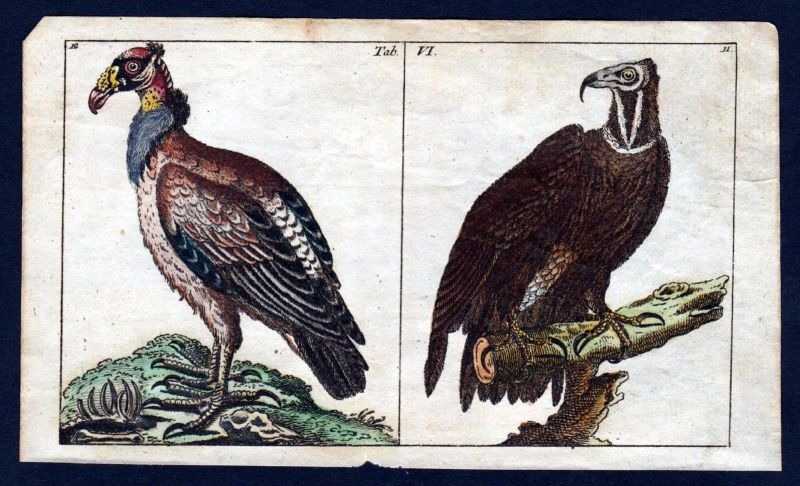 1800 Geier vulture vultures Greifvögel Vogel bird Kupferstich engraving