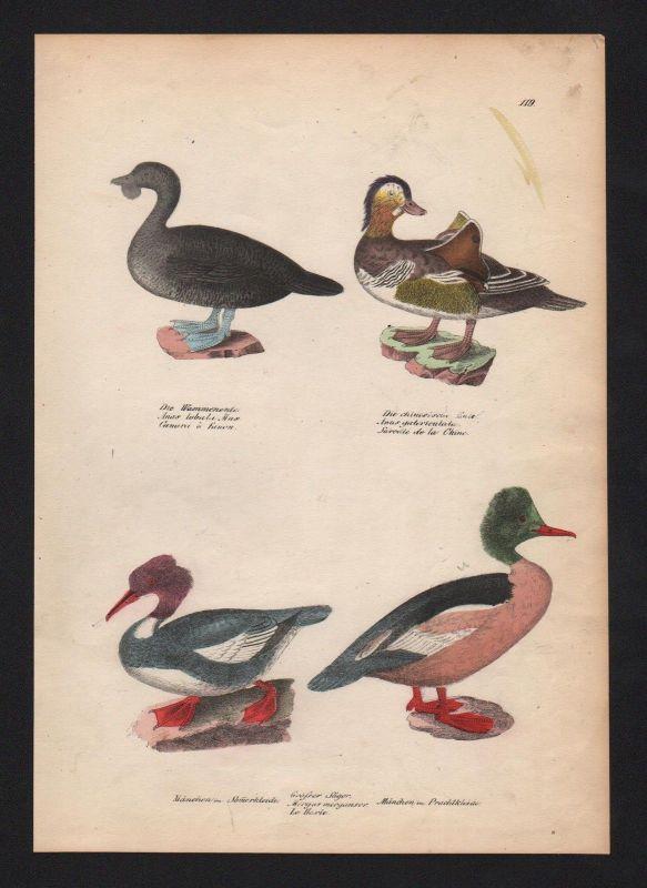 1840 - Gänsesäger merganser Ente duck Vogel Vögel bird birds Lithographie