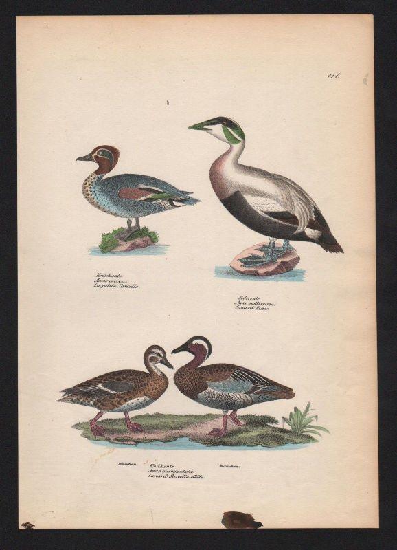 1840 - Eiderente common eider Ente duck Vogel Vögel bird birds Lithographie