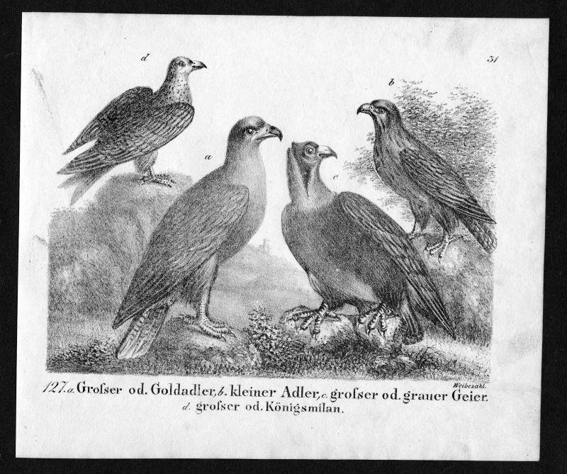 1830 - Adler Geier eagle eagles Vulture Vogel birds Lithographie antique print