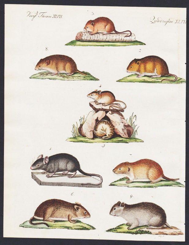 1800 - vole harvest mouse mice Maus Mäuse engraving antique print Bertuch