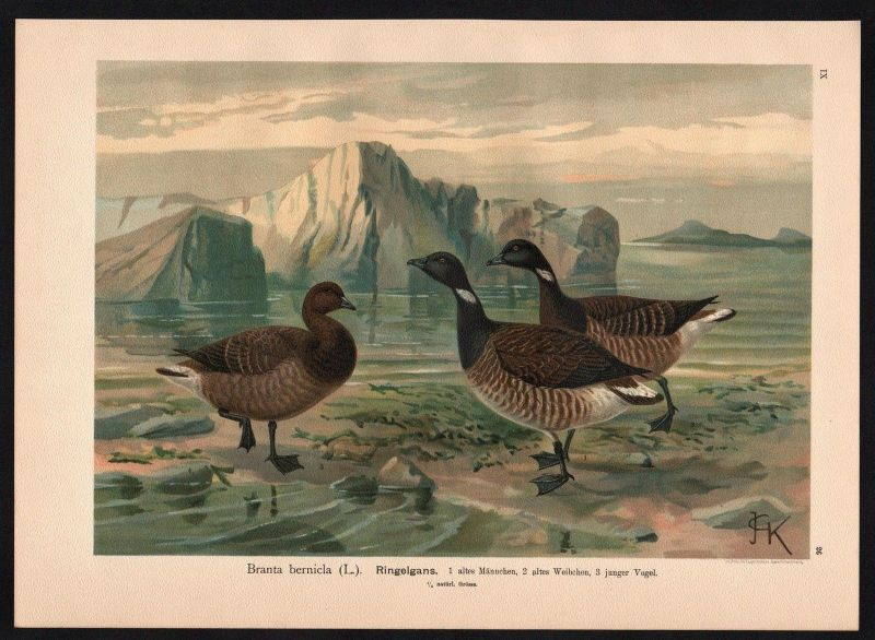 1880 - Ringelgans Gans Gänse Brant Goose goose geese Farblithographie Naumann