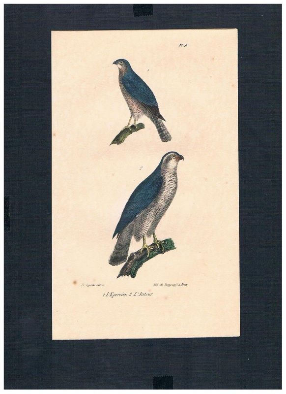 1830 - Sperber sparrowhawk Vogel Vögel bird birds Lithographie Lithograph