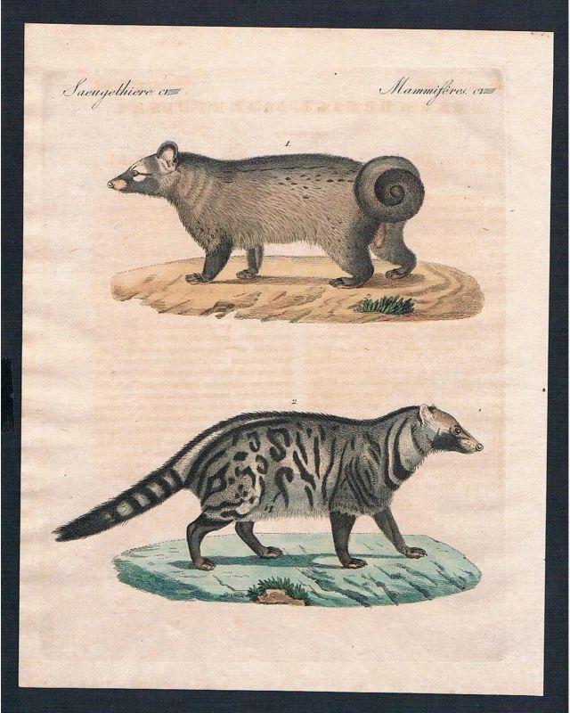 1800 - Stinktiere Pougoune Civette skunks civet engraving Kupferstich Bertuch