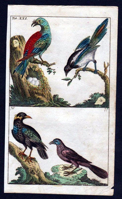 1800 Blauracke roller Vogel Vögel bird birds Kupferstich engraving
