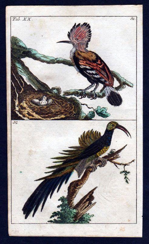 1800 Wiedehopf hoopoe Vogel Vögel bird birds Kupferstich engraving