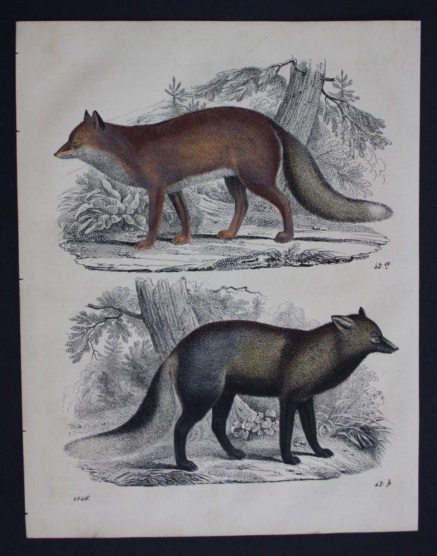 1846 - Fuchs Füchse fox foxes Lithographie Lithograph