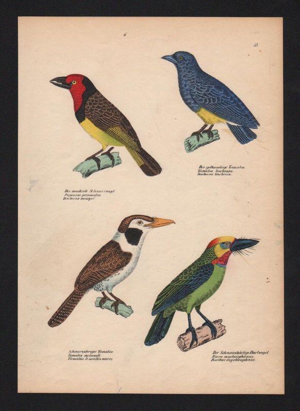 1840 - Bartvögel barbets Faulvögel Vogel Vögel bird birds Lithographie
