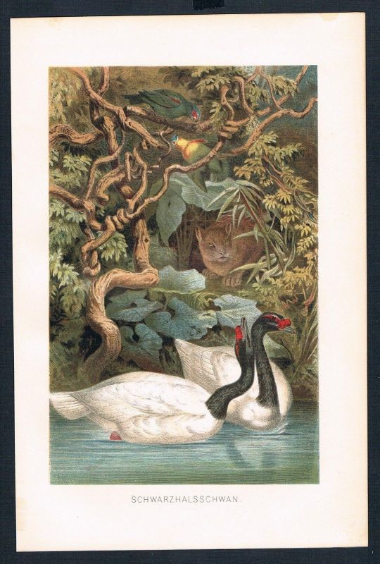 1890 - Schwarzhalsschwan Schwan swan bird Vögel Farblithographie lithography