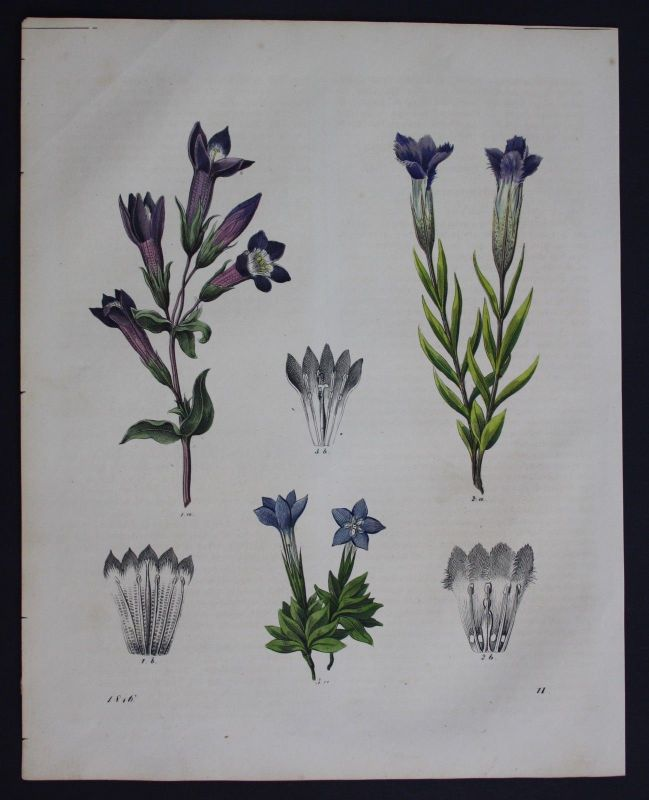 1846 - Enzian Gentiana Blume flower Lithographie Lithograph