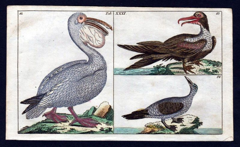 1800 Pelikan pelican Tölpel sulidae Vogel Vögel birds bird Kupferstich engraving