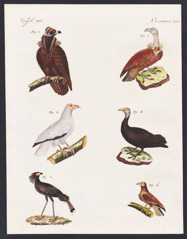 1800 - vulture vultures Geier bird birds Vögel engraving antique print Bertuch