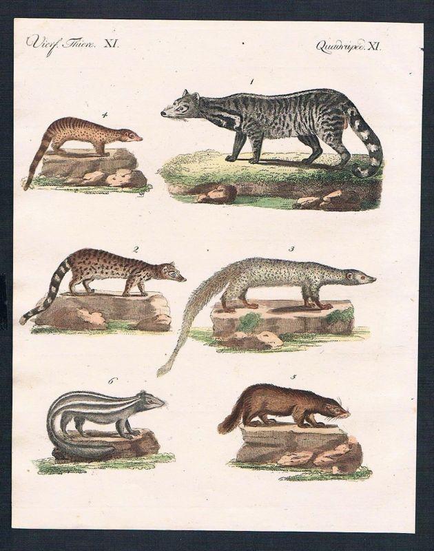 1800 - Zibetkatzen Stinktier Coafe civet skunk engraving Kupferstich Bertuch