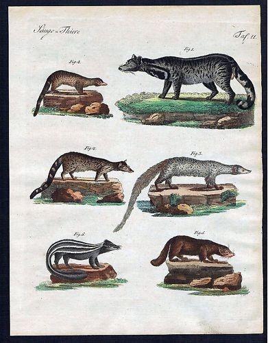 1800 - Zibetkatze Viverrinae civet Kupferstich Bertuch