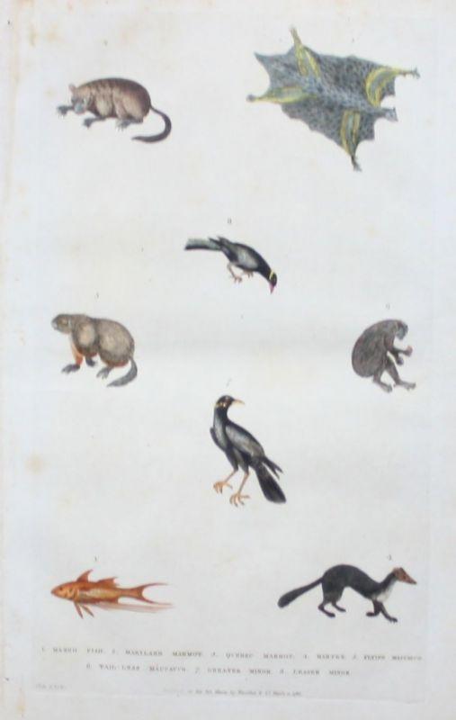 1780 - Mangofish Fisch Murmeltier marmot Marder animals engraving Kupferstich