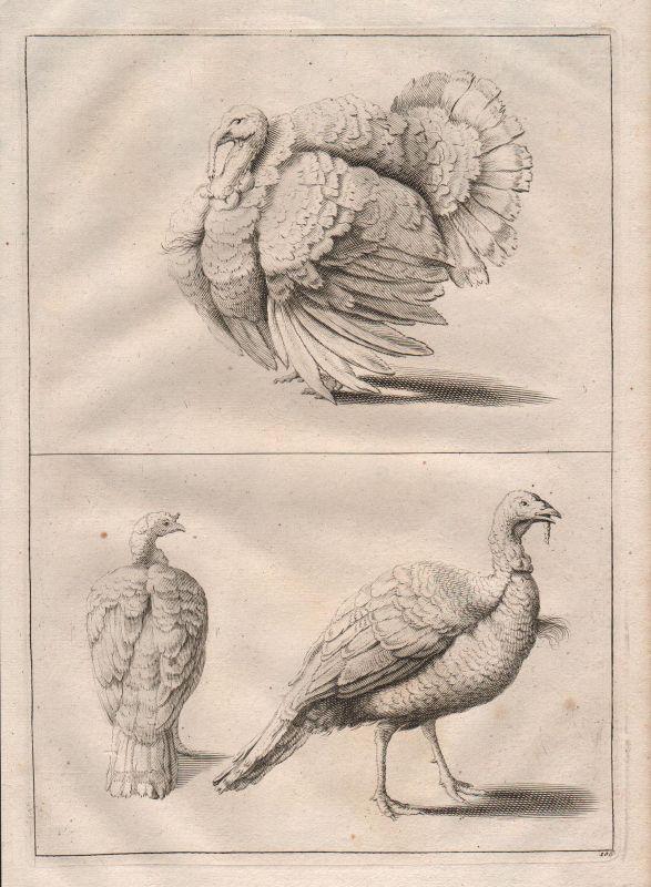 Truthahn Hahn Vogel Vögel turkey cock bird etching Kupferstich antique print