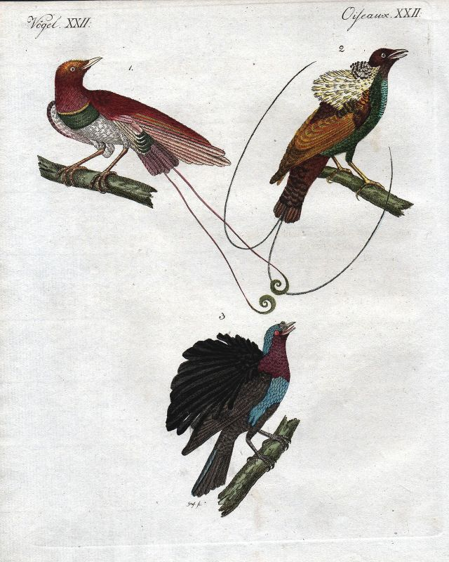 Paradise bird Paradiesvogel Vögel Vogel bird birds Bertuch antique print 1800