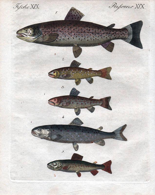 Forelle Forellen trout salmon Lachs Fisch fish poisson Kupferstich Bertuch 1800