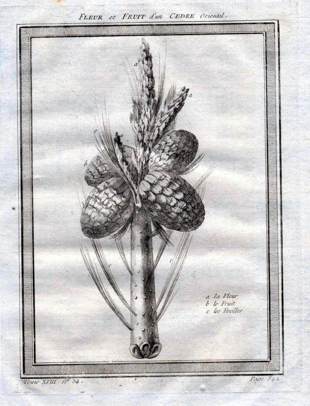 1750 Zeder cedar cetre Zapfen pine cone Kupferstich antique print Botanik botany