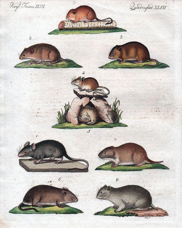 Maus Feldmaus Zwergmaus Hausmaus Mäuse mouse mice field mouse Bertuch