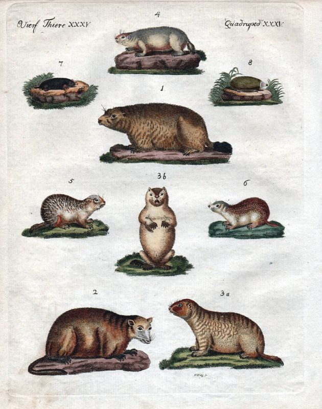Murmeltier Maulwurf Ziesel marmot mole squirrel Kupferstich Bertuch 1800