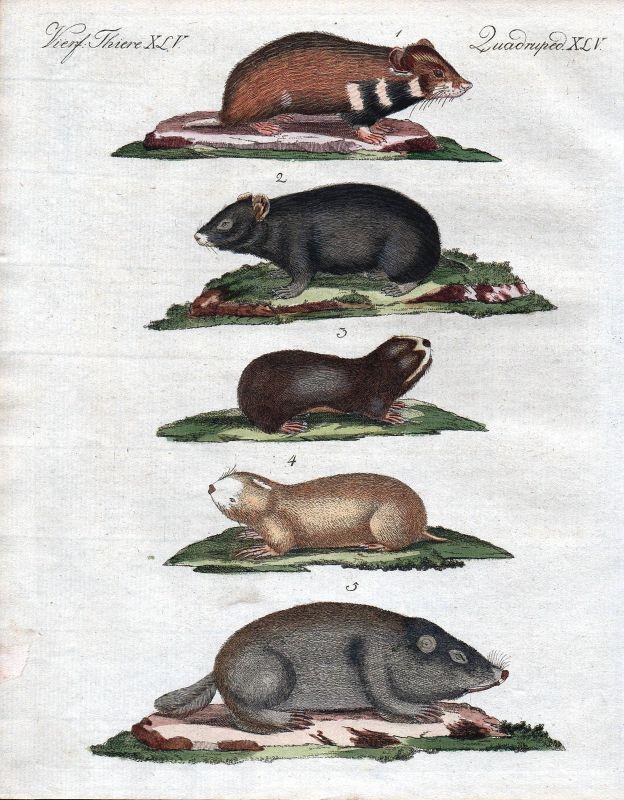 Hamster Maus Mäuse Sandmoll mouse mice Bertuch Kupferstich engraving 1800