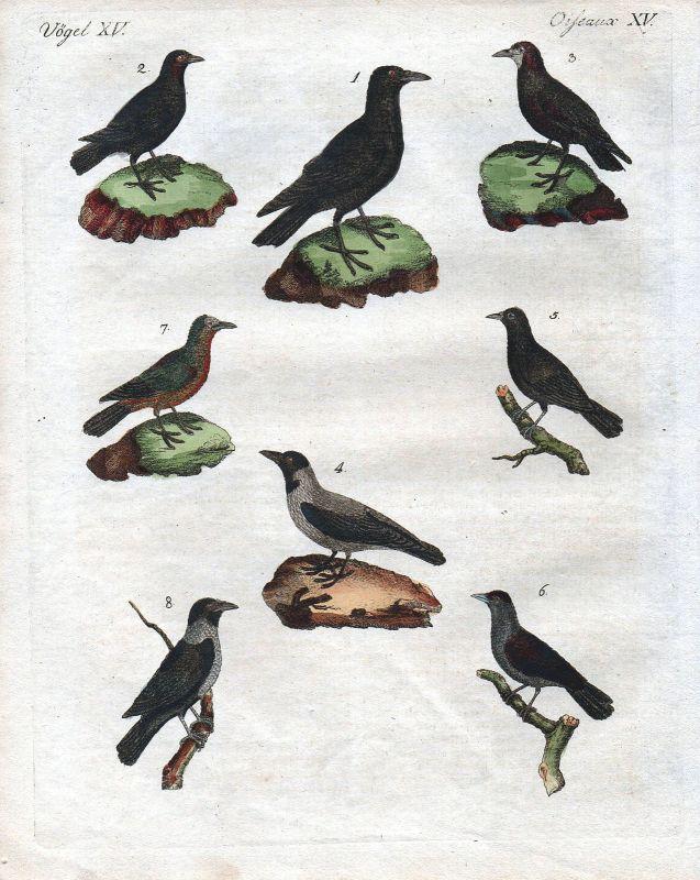 Vögel Vogel birds bird Rabe Krähe Dohle jackdaw crow Bertuch 1800