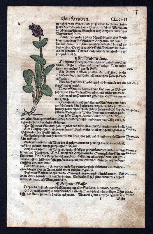 1580 - Betonien Eisenkraut herbal Kräuter Kräuterbuch Lonicer Holzschnitt