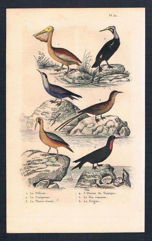 1840 - Pelikan Kormoran Vögel Vogel birds antique print engraving Stahlstich