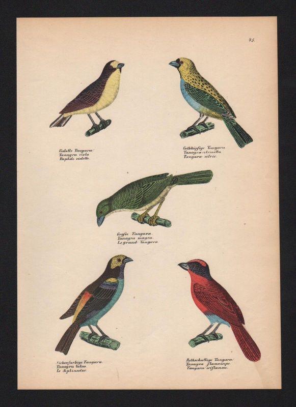 1840 - Tangaren Tangara Vogel Vögel bird birds Lithographie