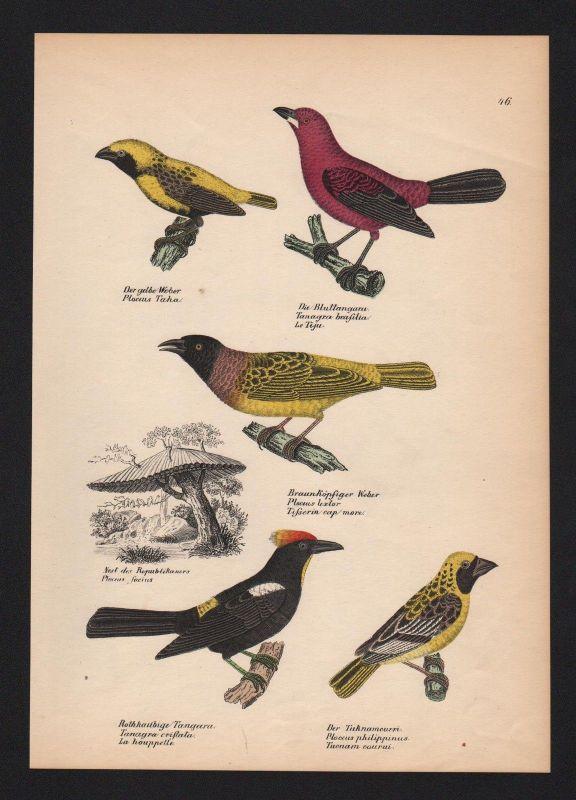 1840 - Tangaren Tangara Webervögel weavers Vogel Vögel bird birds Lithographie