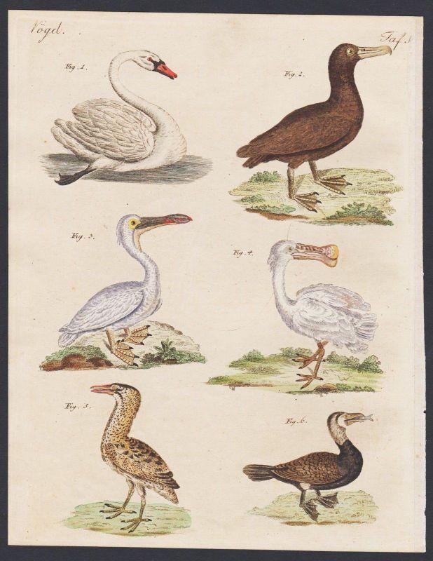 1800 - swan pelican bird birds Vogel Vögel engraving antique print Bertuch