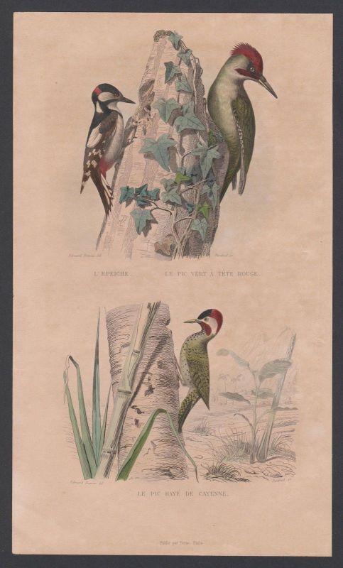 1830 - Specht woodpecker Vogel Vögel birds bird animal Stahlstich engraving