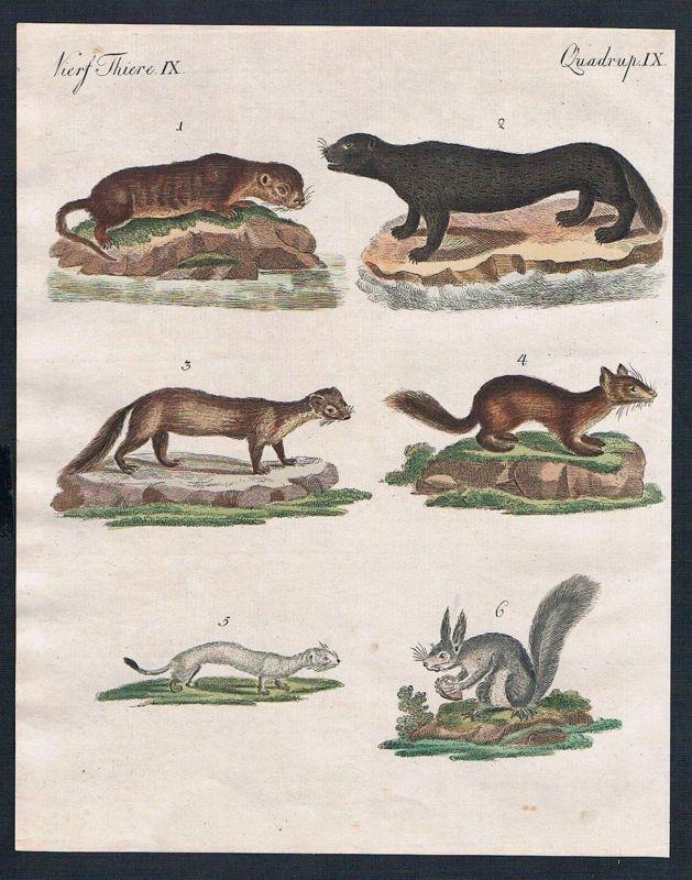 1800 - Marder marten Otter otter Hermelin stoat engraving Kupferstich Bertuch
