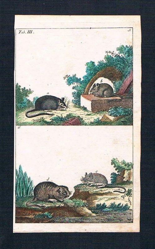 1800 - Maus Mäuse mouse Ratte Ratten rat animal animals engraving Kupferstich